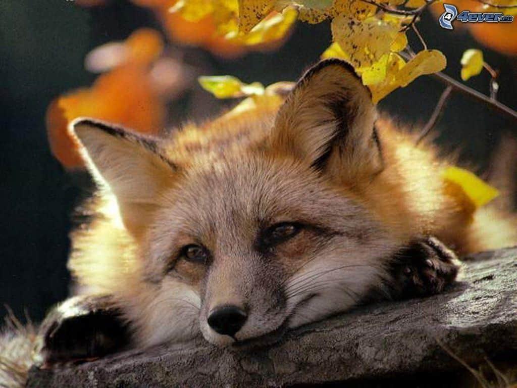 Rezept des Fuchses für ein langes Leben